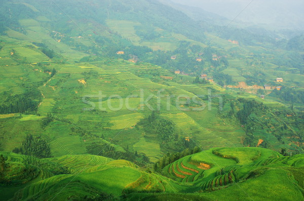 Chinese green rice field Stock photo © raywoo