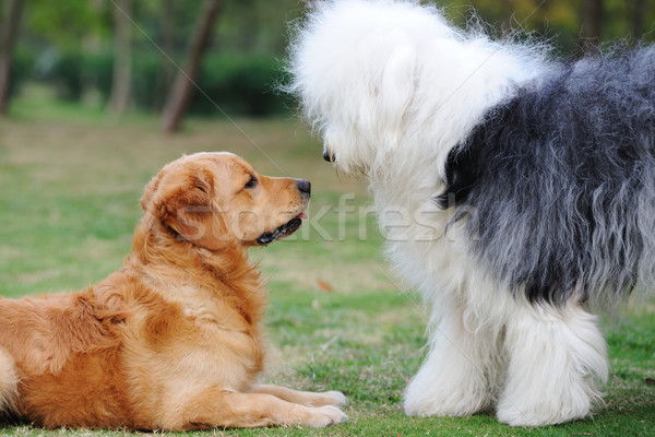 Deux chiens golden retriever vieux anglais chien de berger Photo stock © raywoo