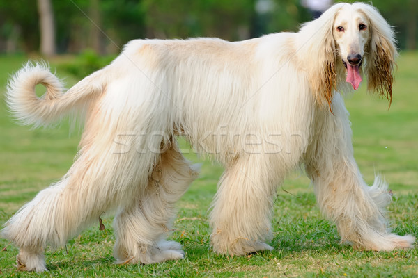 Afghan hound dog walking Stock photo © raywoo