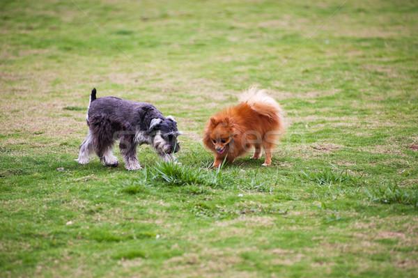 Miniatur Schnauzer Hunde spielen Rasen Hund Stock foto © raywoo