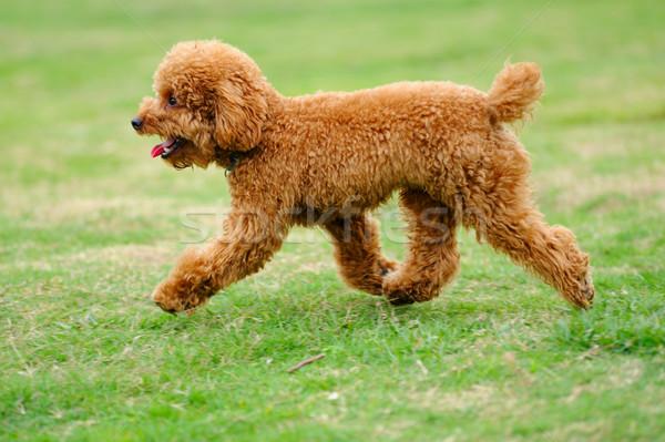 Foto stock: Pequeno · brinquedo · poodle · cão · corrida · gramado
