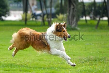 Cão corrida gramado verde correr branco Foto stock © raywoo
