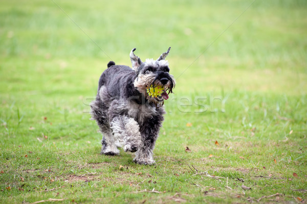 Stock photo: Miniature schnauzer dog