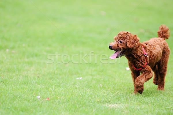 красный пудель собака работает газона счастливым Сток-фото © raywoo