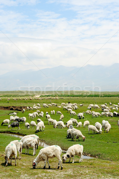 Goats in grassland Stock photo © raywoo