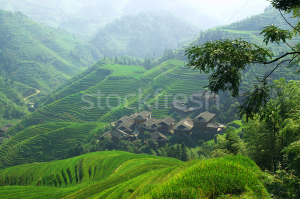 Green rice field Stock photo © raywoo