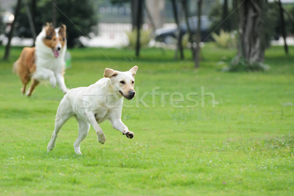 Two dog chasing Stock photo © raywoo