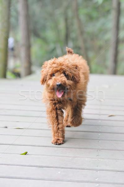 Poodle cão caminhada marrom estrada Foto stock © raywoo