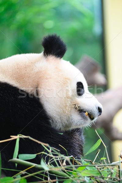Gigante panda terra mangiare bambù foglia Foto d'archivio © raywoo