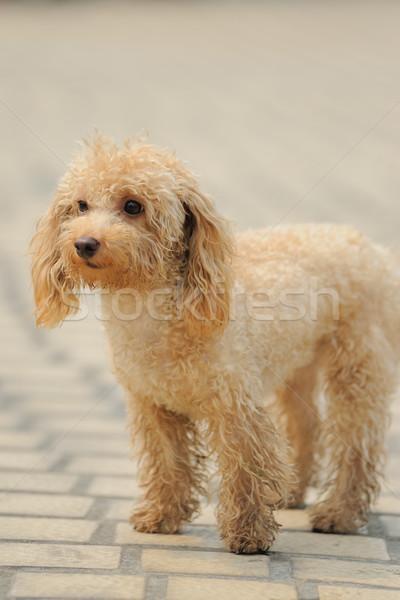 Brinquedo poodle cão em pé pequeno terreno Foto stock © raywoo