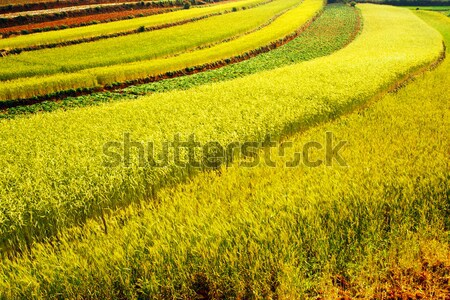 Wheat field Stock photo © raywoo
