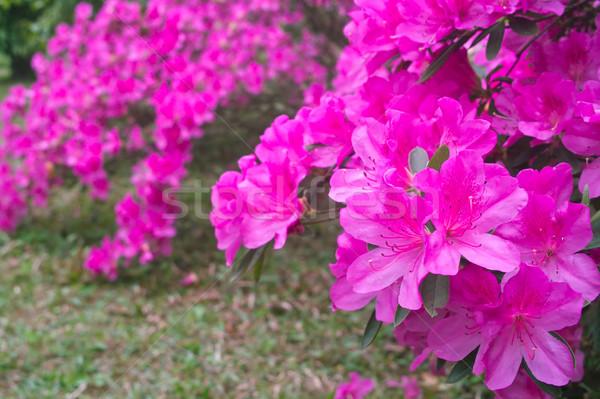 Azalea flowers Stock photo © raywoo