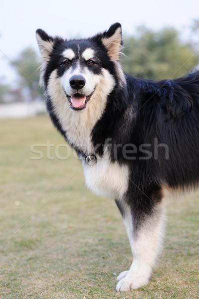 Alaskan Malamute dog standing on lawn Stock photo © raywoo