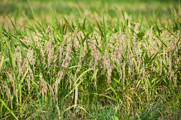 Rijstveld China platteland gras veld boerderij Stockfoto © raywoo