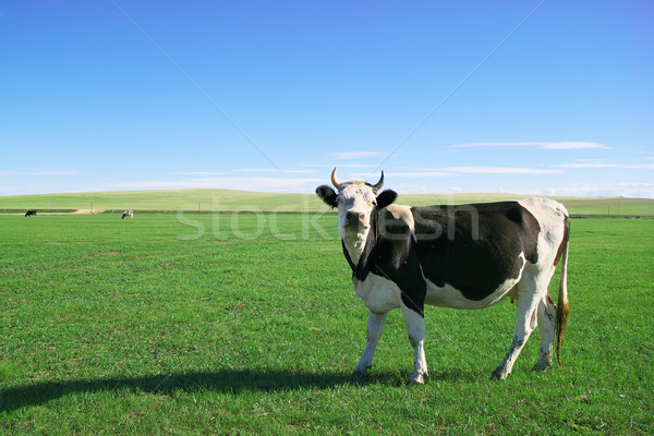 Cow in grassland Stock photo © raywoo