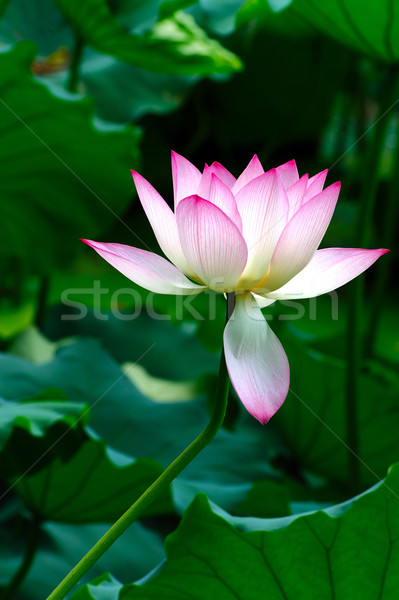Lotus flower blooming Stock photo © raywoo