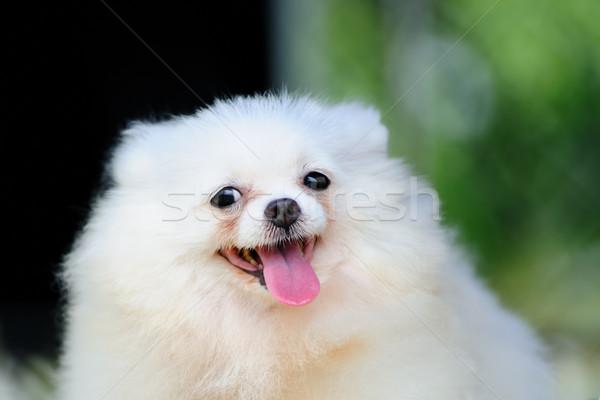 Pequeno branco cão retrato animal cachorro Foto stock © raywoo