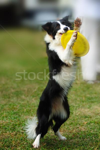 Сток-фото: Бордер · колли · собака · игрушку · Постоянный · блюдо
