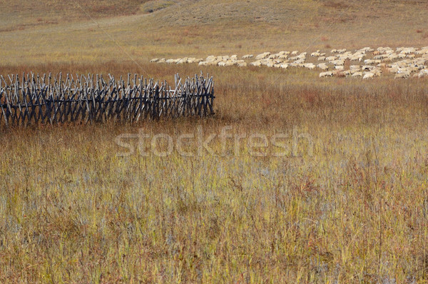 Group of sheep in grassland Stock photo © raywoo