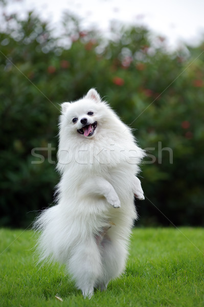 white pomeranian puppies price white pomeranian dog stock photo 169 raywoo 1324799 6677