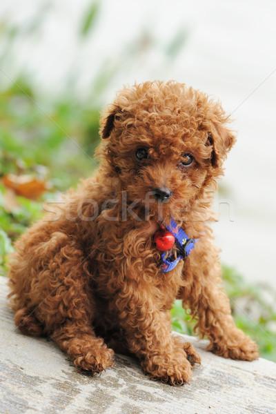 игрушку пудель собака мало сидят землю Сток-фото © raywoo