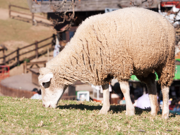 Sheep grazing Stock photo © raywoo