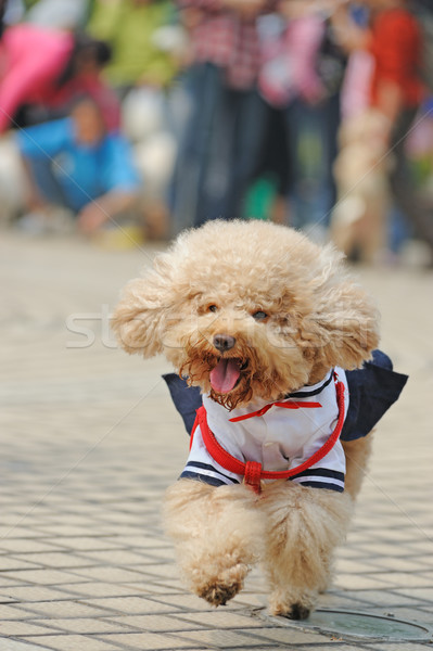 Poodle dog running Stock photo © raywoo