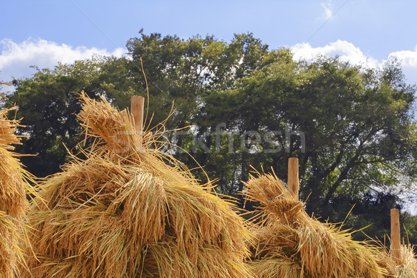 Top of some rice stacks-detail Stock photo © RazvanPhotography