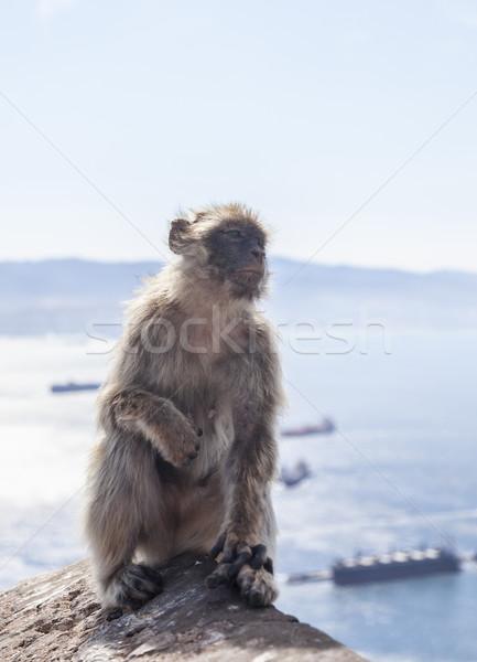 Barbary Macaque of Gibraltar Stock photo © RazvanPhotography
