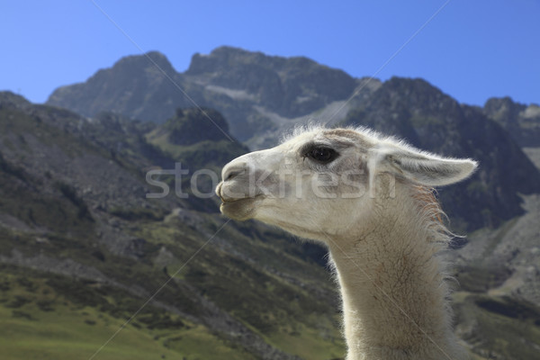 Lama profile and Pyrenees Mountains Stock photo © RazvanPhotography