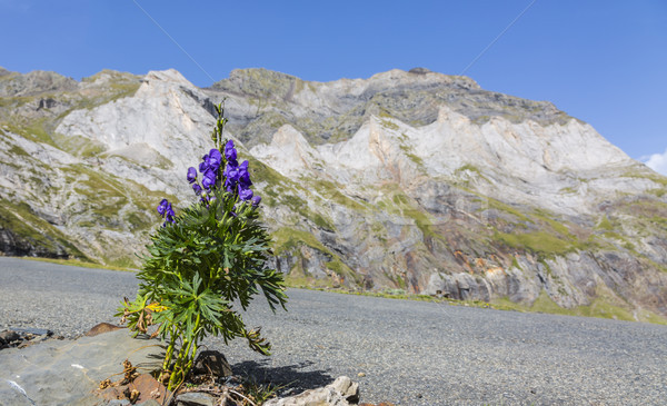Violette fleur cirque montagnes côté route Photo stock © RazvanPhotography