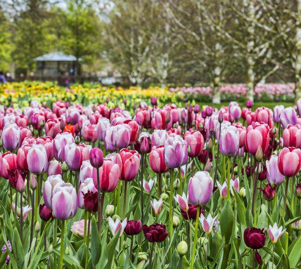 Tulp tuin kleurrijk afbeelding voorjaar Pasen Stockfoto © RazvanPhotography