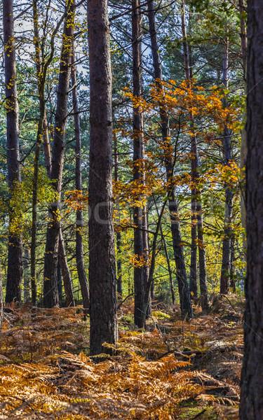 Autumn Scene in Fontainebleau Forest Stock photo © RazvanPhotography