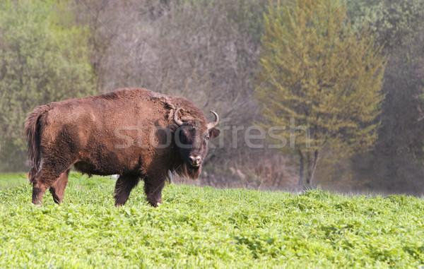 Bison Stock photo © RazvanPhotography