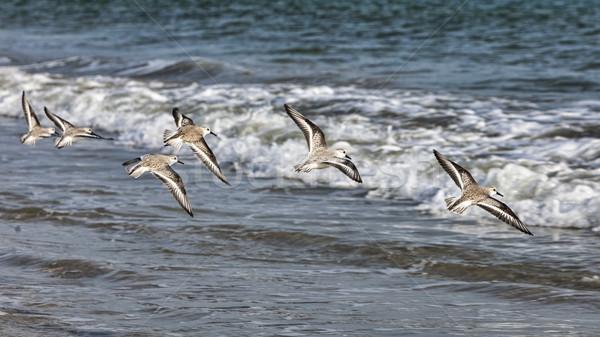 Shorebirds Flying Stock photo © RazvanPhotography