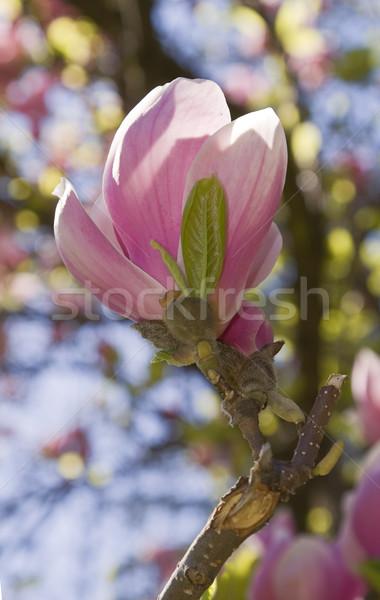 Magnolia mooie bloem natuurlijke wazig voorjaar Stockfoto © RazvanPhotography