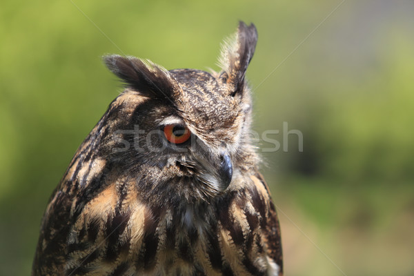 Portrait chouette image eagle owl floue Photo stock © RazvanPhotography