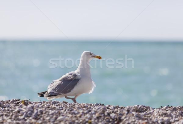 Gaviota playa normandía norte Foto stock © RazvanPhotography