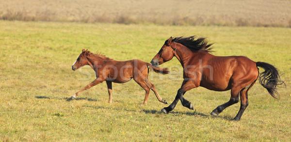 Stock photo: Horses Running