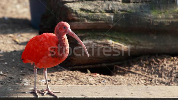 Scarlet ibis Stock photo © RazvanPhotography