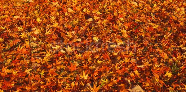 Autunno tappeto acero foglie suolo sfondo Foto d'archivio © RazvanPhotography