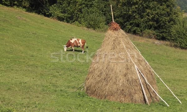 Cow grazing Stock photo © RazvanPhotography