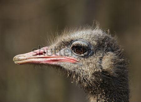 Dirty ostrich portrait Stock photo © RazvanPhotography