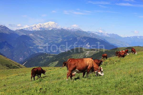 Vaches élevé altitude alpes nature été Photo stock © RazvanPhotography