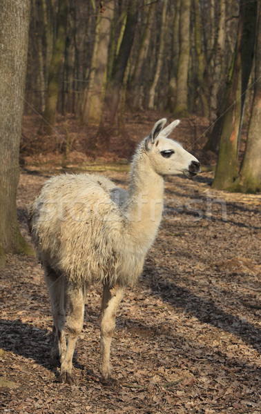 Lama najaar bos boerderij witte bont Stockfoto © RazvanPhotography