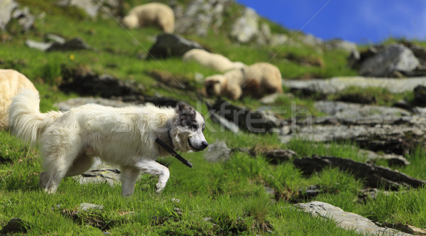 Shepherd dog Stock photo © RazvanPhotography