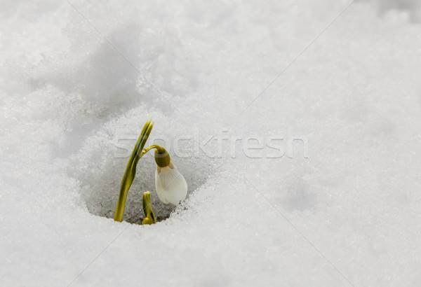 Snowdrop Stock photo © RazvanPhotography