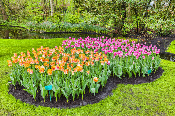 Tulips Garden Stock photo © RazvanPhotography