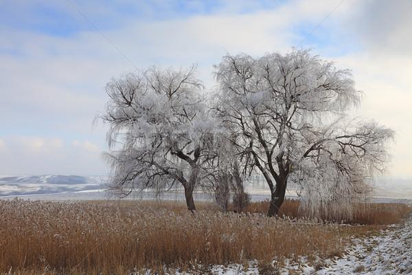 Frozen tree Stock photo © RazvanPhotography