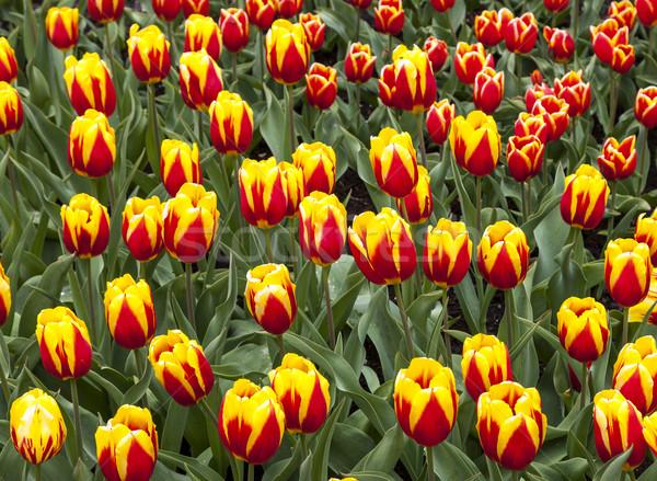 области Кейп-Код тюльпаны красочный голландский саду Сток-фото © RazvanPhotography